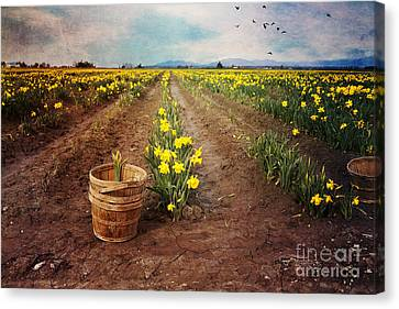 Canvas Print featuring the photograph basket with Daffodils by Sylvia Cook