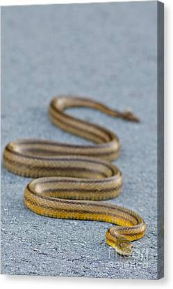 Jn Ding Darling National Wildlife Refuge Canvas Print - Basking Florida Yellow Rat Snake by Natural Focal Point Photography