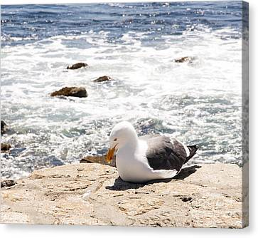 Basking Seagull Canvas Print