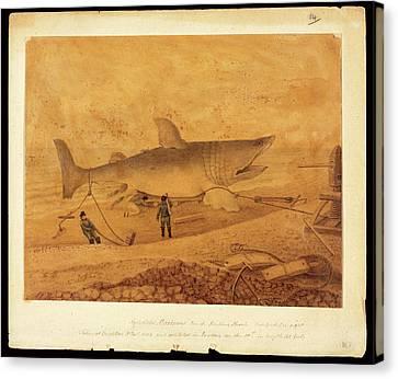 Basking Shark Illustration Canvas Print