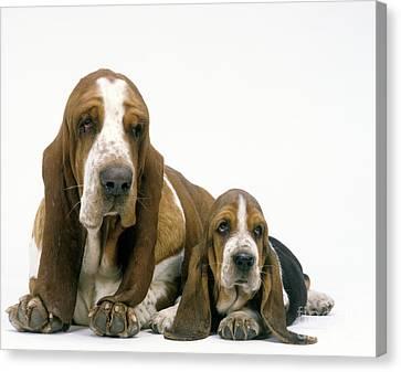 Basset Hound Dogs Canvas Print