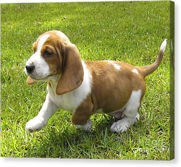 Basset Hound Puppy Canvas Print