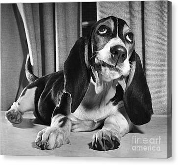 Basset Hound Puppy Canvas Print by ME Browning