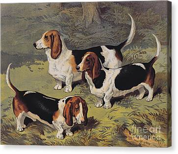 Basset Hounds Canvas Print