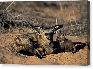 Bat-eared Fox With Pups Canvas Print