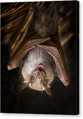 Bat Hanging In The Kruger National Park Canvas Print by Ronel Broderick