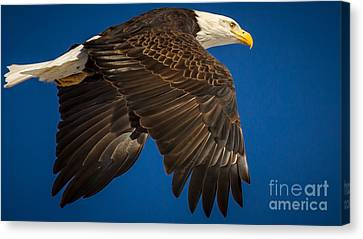 Batavia Bald Eagle Canvas Print