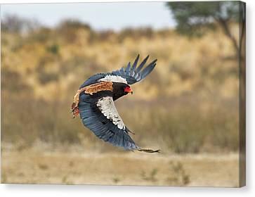 Bateleur Eagle In Flight Canvas Print by Tony Camacho