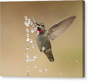 Bath Time For Anna's Hummingbird Canvas Print by Doug Herr