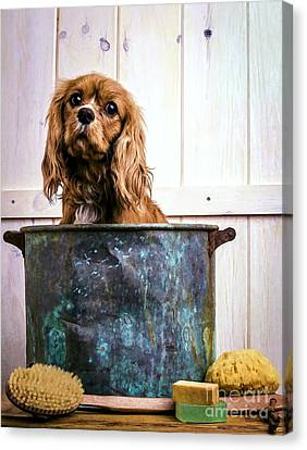 Bath Time - King Charles Spaniel Canvas Print by Edward Fielding