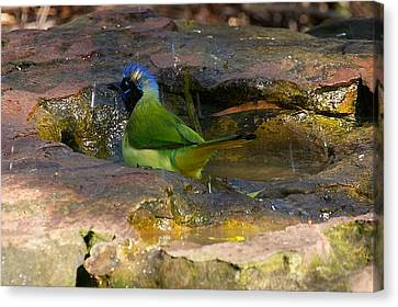 Bathing Green Jay Canvas Print by Stuart Litoff