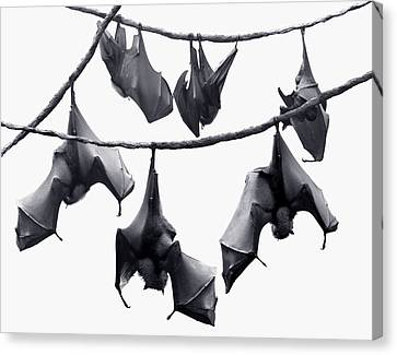Bats Hangin' Out Canvas Print by Edwin Verin
