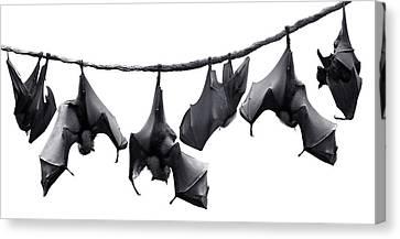 Bats Hangin' Out II Canvas Print by Edwin Verin