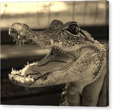 Baby Gator Dark Sepia Canvas Print by Rob Hans