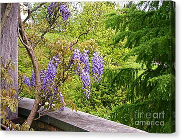 Wisteria In Bloom Canvas Print - Be There Now -- First Of May Pennsylvania by Byron Varvarigos