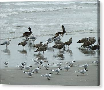 Beach Birds Canvas Print by Judith Morris