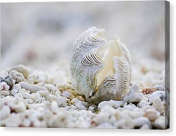 Beach Clam Canvas Print by Sean Davey