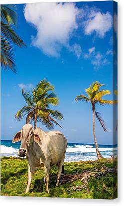 Beach Cow Canvas Print by Jess Kraft