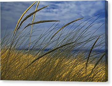 Beach Grass On A Sand Dune At Glen Arbor Michigan Canvas Print