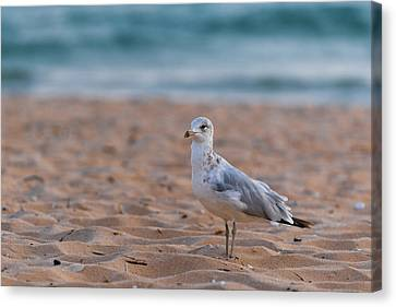 Sea Birds Canvas Print - Beach Patrol by Sebastian Musial