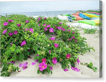 Beach Roses, Madaket, Nantucket Canvas Print