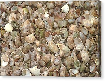 Canvas Print featuring the photograph Beached Shells by Suzanne Powers