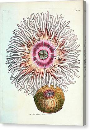 Beadlet Anemone Canvas Print by General Research Division/new York Public Library