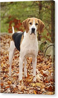 Beagle Canvas Print by Kenny Francis