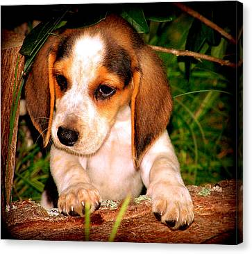 Beagle Puppy 1 Canvas Print by Lynn Griffin