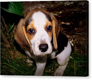 Beagle Puppy 2 Canvas Print by Lynn Griffin
