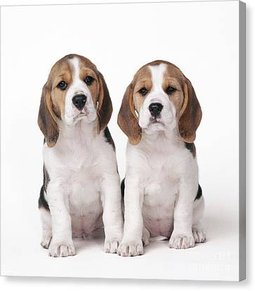 Beagle Puppy Dogs Canvas Print