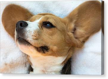 Beagles Dreams Canvas Print