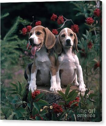 Beagles Canvas Print by Hans Reinhard