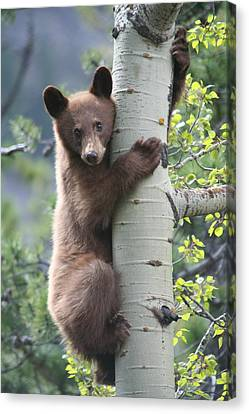 Bear Cub On Tree At Waterton Lakes National Park Canvas Print by Jetson Nguyen
