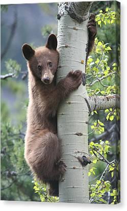 Bear Cub On Tree At Waterton Lakes National Park Canvas Print