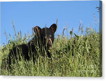 Bear Cub Summer School Canvas Print by Wildlife Fine Art