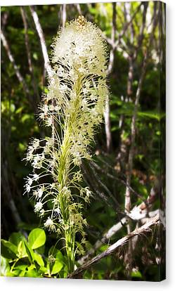 Bear Grass No 3 Canvas Print