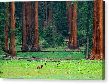 Bear In Sequoia National Park Canvas Print