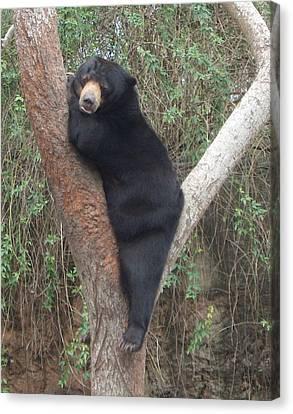 Bear In Tree   Canvas Print