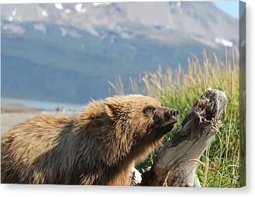Bear Sniffs Air Canvas Print by David Wilkinson