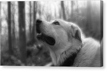 Bear Tooth Not Camera Shy Canvas Print