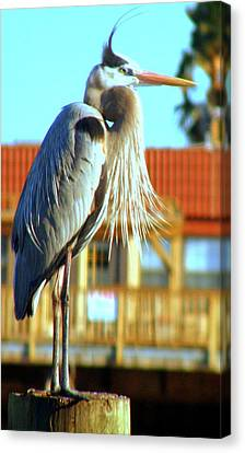 Canvas Print featuring the photograph Bearded Great Blue Heron by Antonia Citrino