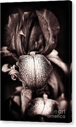 Bearded Iris Kent Pride Canvas Print by Tim Gainey