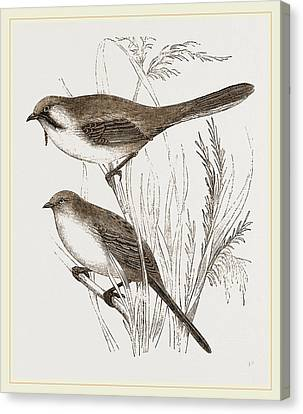 Bearded Titmice Canvas Print by Litz Collection