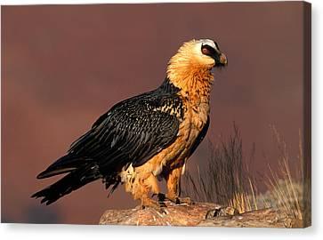 Bearded Vulture Or Lammergeier Canvas Print by Nigel Dennis