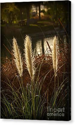 Beautiful Pampas Grass Canvas Print by Robert Bales