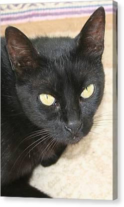 Beautiful Black Cat Portrait  Canvas Print by Tracey Harrington-Simpson