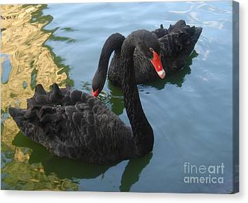 Canvas Print featuring the photograph Beautiful Black Swans by Carla Carson
