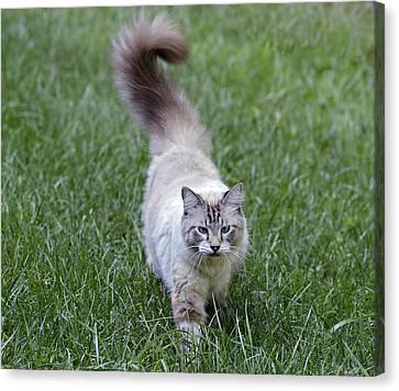 Beautiful Blue Eyed Cat Walking In Grass Canvas Print by Susan Leggett