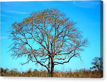 Beautiful Branching Canvas Print by Debra Martz